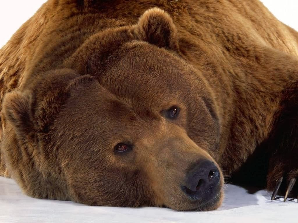 Brown Bear HD Wallpapers