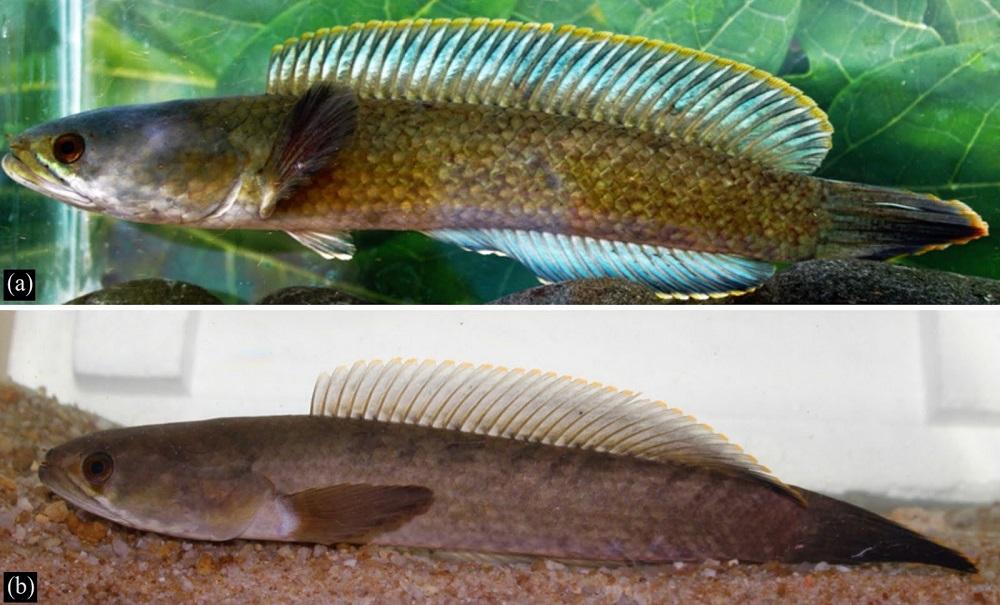 Channa Royi - 50 Jenis Ikan Channa dan Harga Terbaru