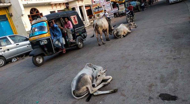 La vaca sagrada en La India
