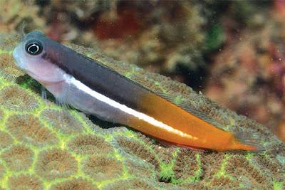 Ikan Blenny (Ecsenius Springeri)