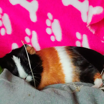 Guinea pig asleep on cushion