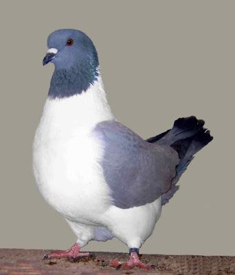 Gambar burung merpati strasser pigeon