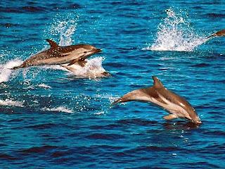 kumpulan lumba lumba di permukaan laut