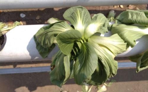penyebab daun tanaman hidrponik layu di siang hari