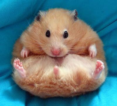 Hamsterler-Hakkında-Bilgi