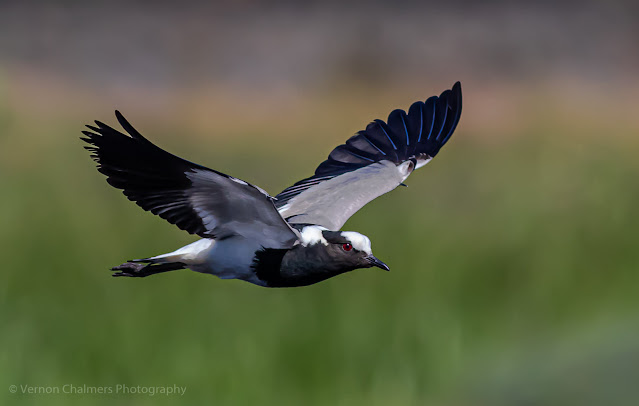 Blacksmith lapwing Woodbridge Island