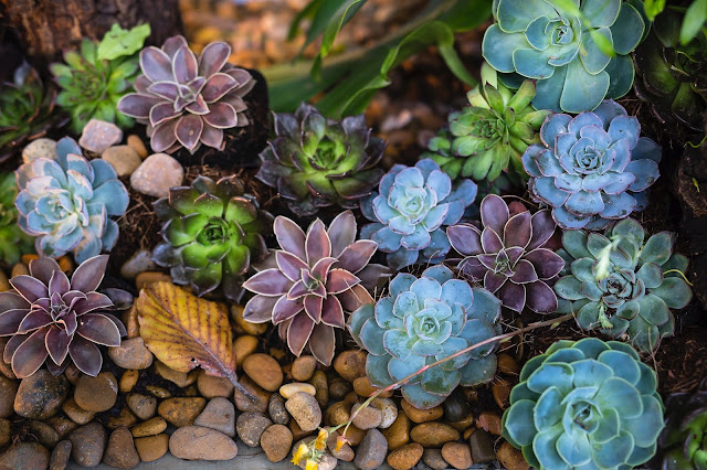 an array of healthy succulents