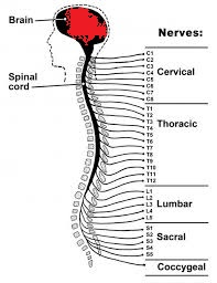 Spinal cord, white matter and gray matter