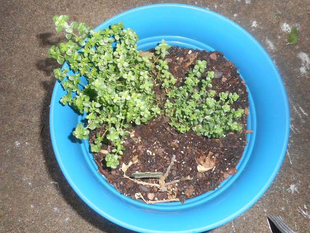 My Thyme Plant