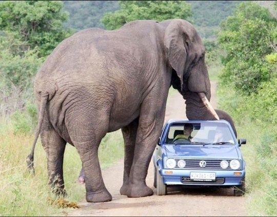 An African elephant stopping a car in a national park.