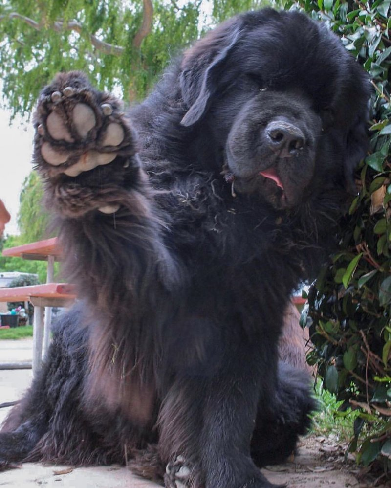 Two huge Newfoundland dogs Boss and Ralphie are just like fluffy teddy bear