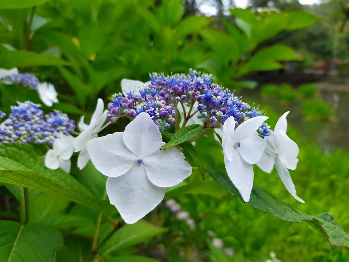 薄紫のアジサイの花。