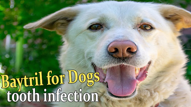 baytril-enrofloxacin-antibiotic-for-dogs-tooth-infection