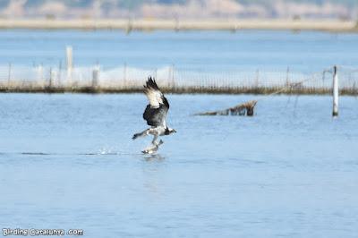 Àguila pescadora agafant la presa