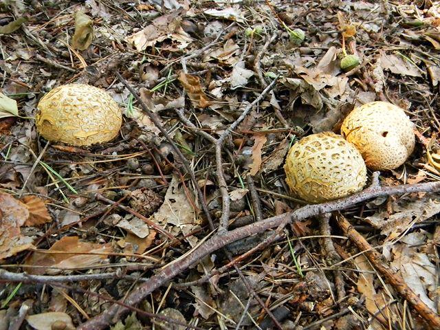 fałszywa trufla, grzyb, gdzie rośnie?
