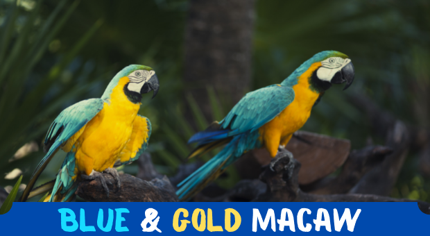 All About Blue and Gold Macaw