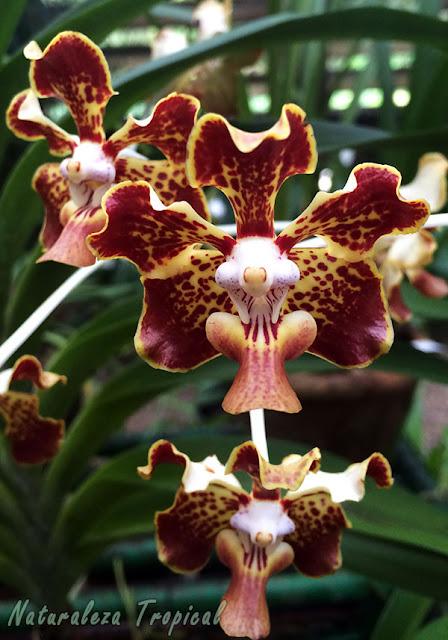 Floración de una orquídea del género Vanda
