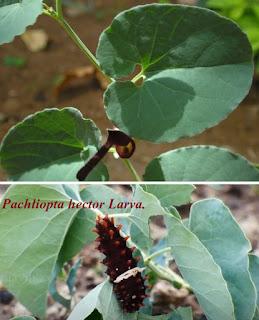 Pachliopta hector larva