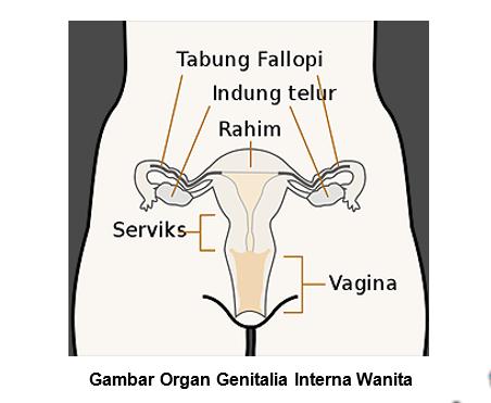 Vagina, Serviks, Tuba Fallopi, Uterus