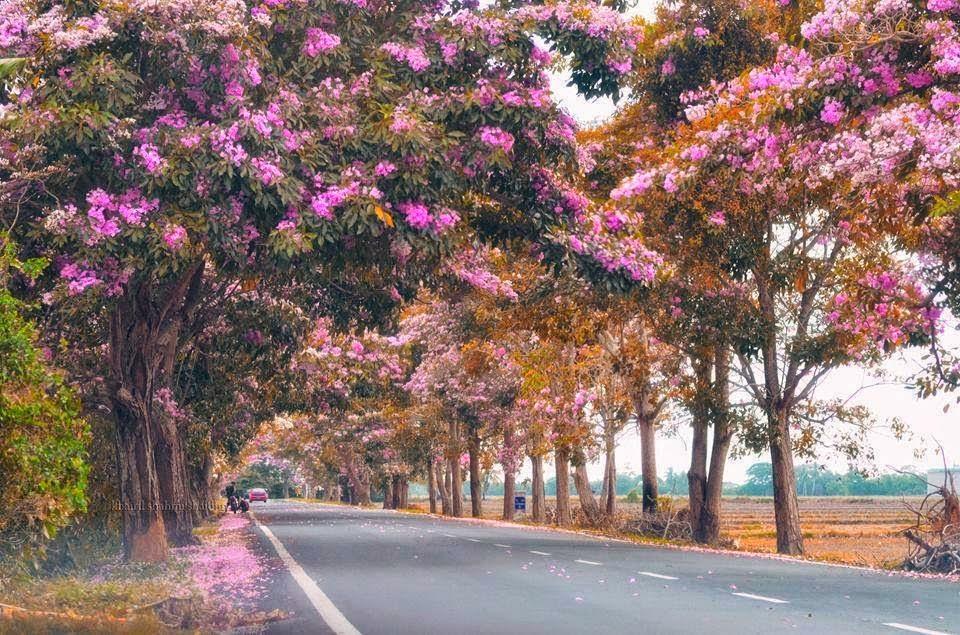 Tak Perlu Ke Luar Negara 19 Gambar Menarik Pemandangan Musim 39 Pokok Sakura 39 Di Malaysia