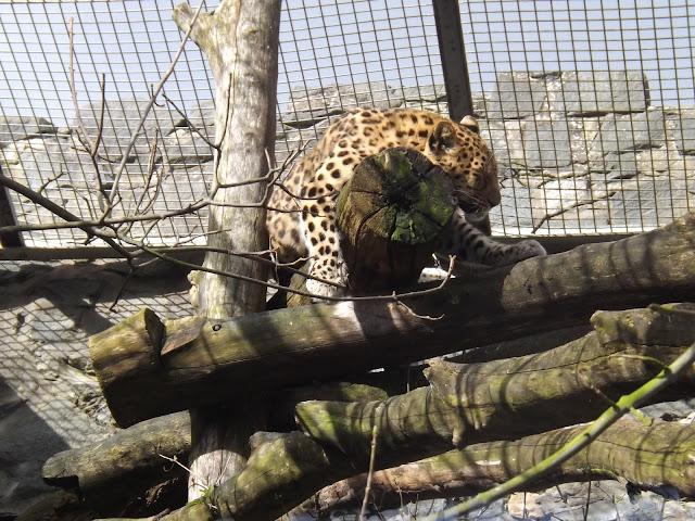 A jaguar sleeping on a log up high