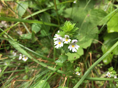 Euphrasia officinalis – Eyebright (Eufrasia officinale)