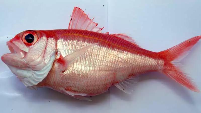 jenis Ikan Kakap Ratu