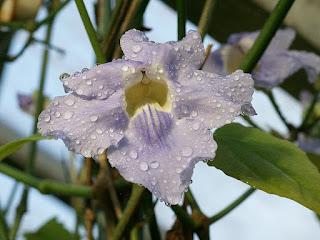Thunbergie à grandes fleurs - Thunbergia grandiflora