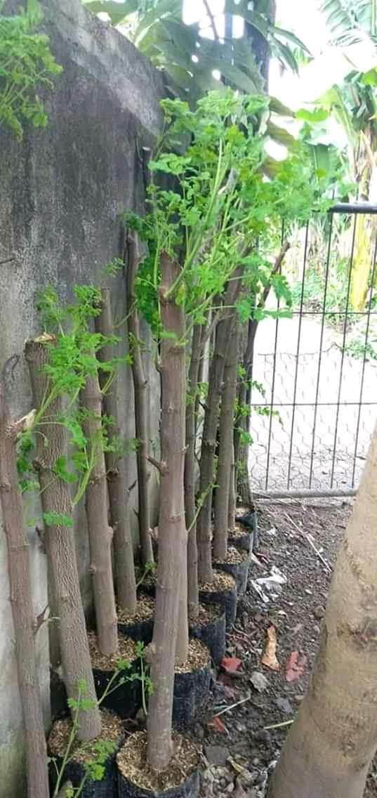 Cara Menanam Pohon Kelor : menanam, pohon, kelor, Budidaya, Tanaman, Kelor, Mudah, Tumbuh, IDNFARMERS
