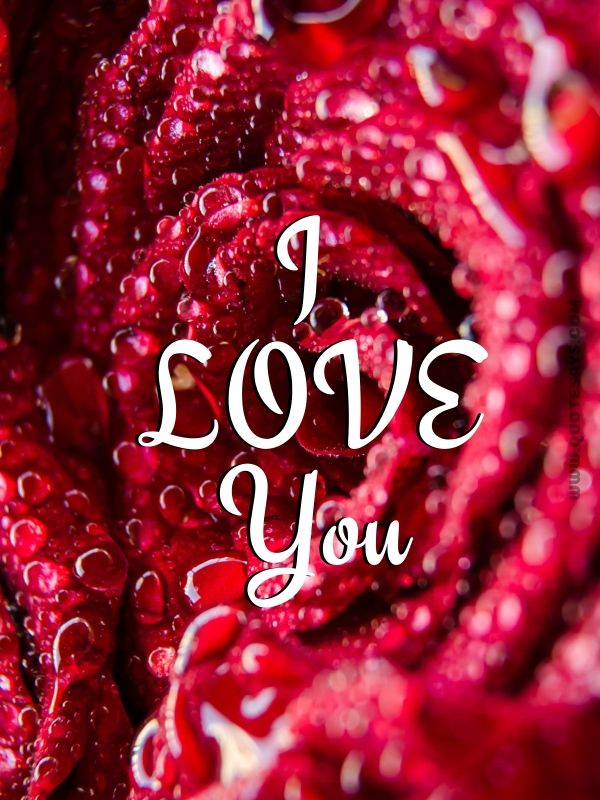 I Love You Images Red Rose