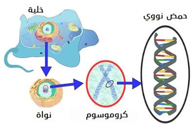 What-is-DNA-Function-ما-هي-وظيفة-الحمض-النووي
