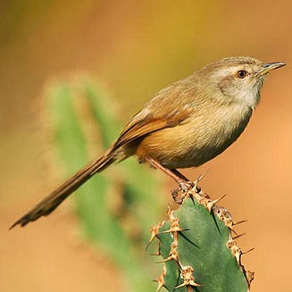 Prinia modesta, Prinia subflava
