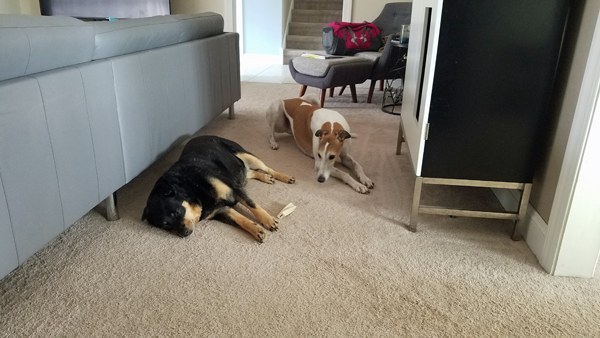 image of Zelda the Black and Tan Mutt napping on the living room floor, with an uneaten dog bone beside her; Dudley the Greyhound is lying next to her, leaning forward to stare at it intently
