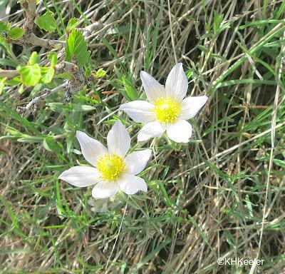 wild, American pasqueflower, Anemone patens