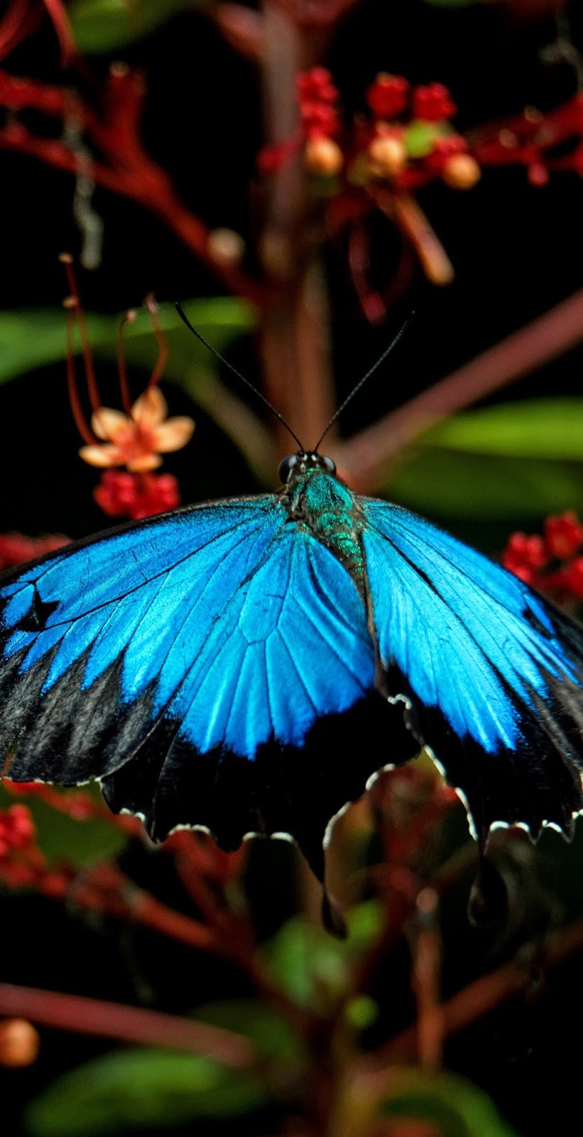 Picture of a ulysses butterfly.