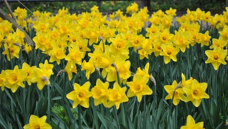 Osterglocken läuten den Frühling ein