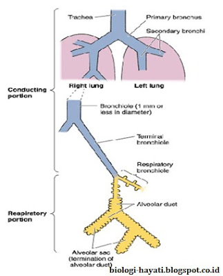 Gambar 6.Saluran pernapasan, secara umum dibagi menjadi pars konduksi dan pars respirasi.