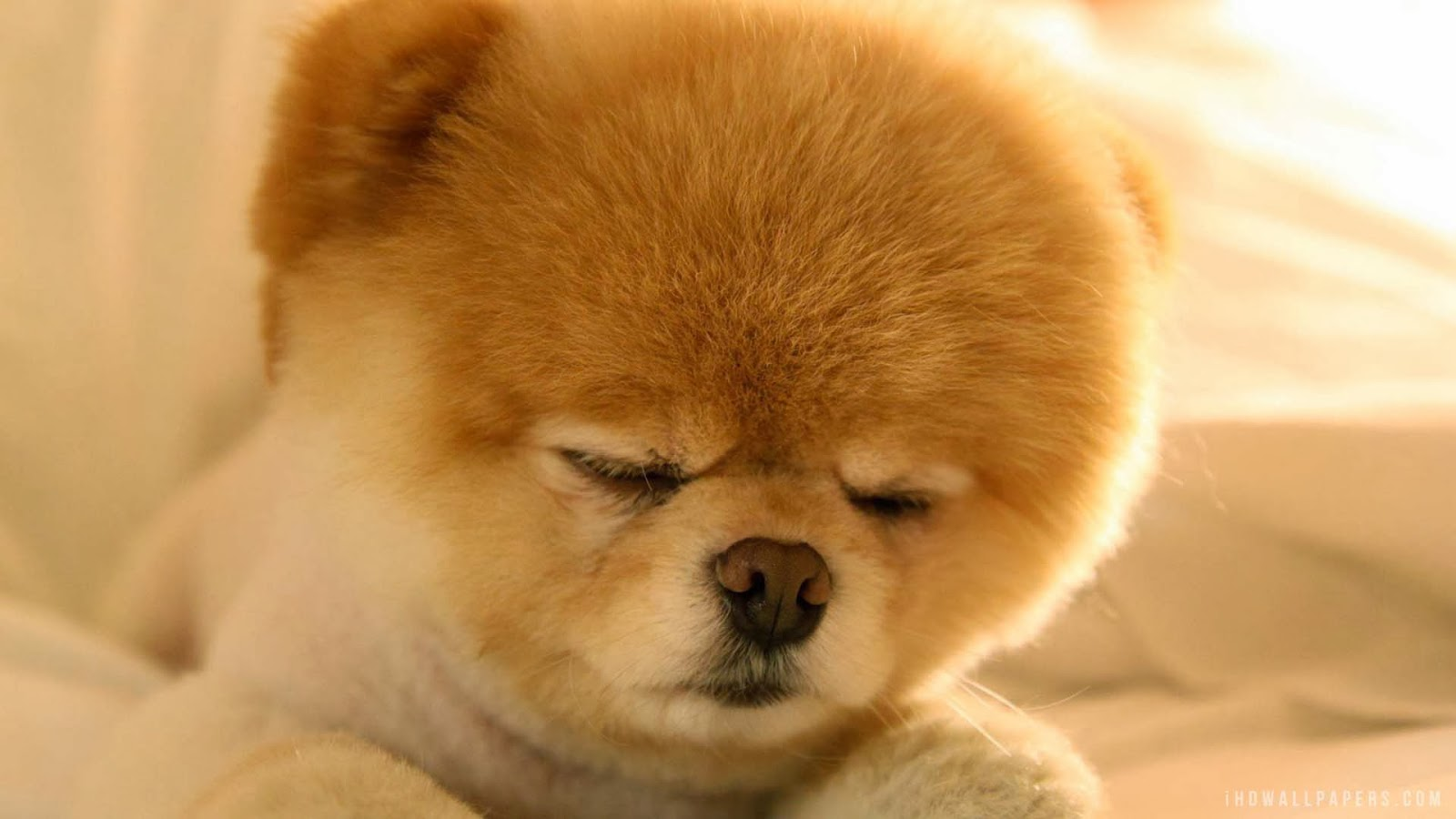 free pomeranian puppy wallpaper - photo #10