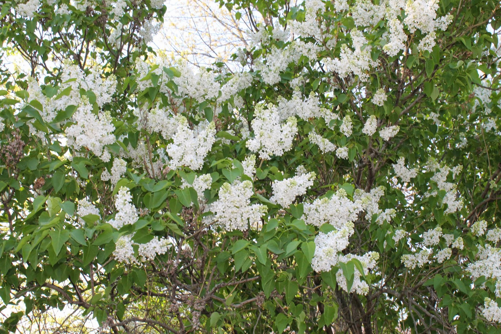 Tree with white flowers that smell good bindu bhatia astrology shejunks flowering trees it is curly early may blooming small white fragrant mightylinksfo