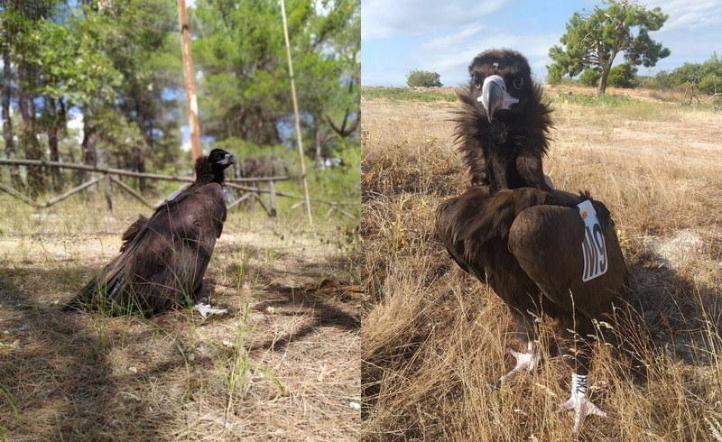Δάσος Δαδιάς: Στο φυσικό του περιβάλλον επέστρεψε νεαρός Μαυρόγυπας