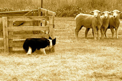 black & white dog herding 3 sheep