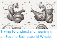 http://sciencythoughts.blogspot.co.uk/2015/02/trying-to-understand-hearing-in-eocene.html