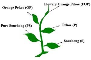 Tea leaf grading