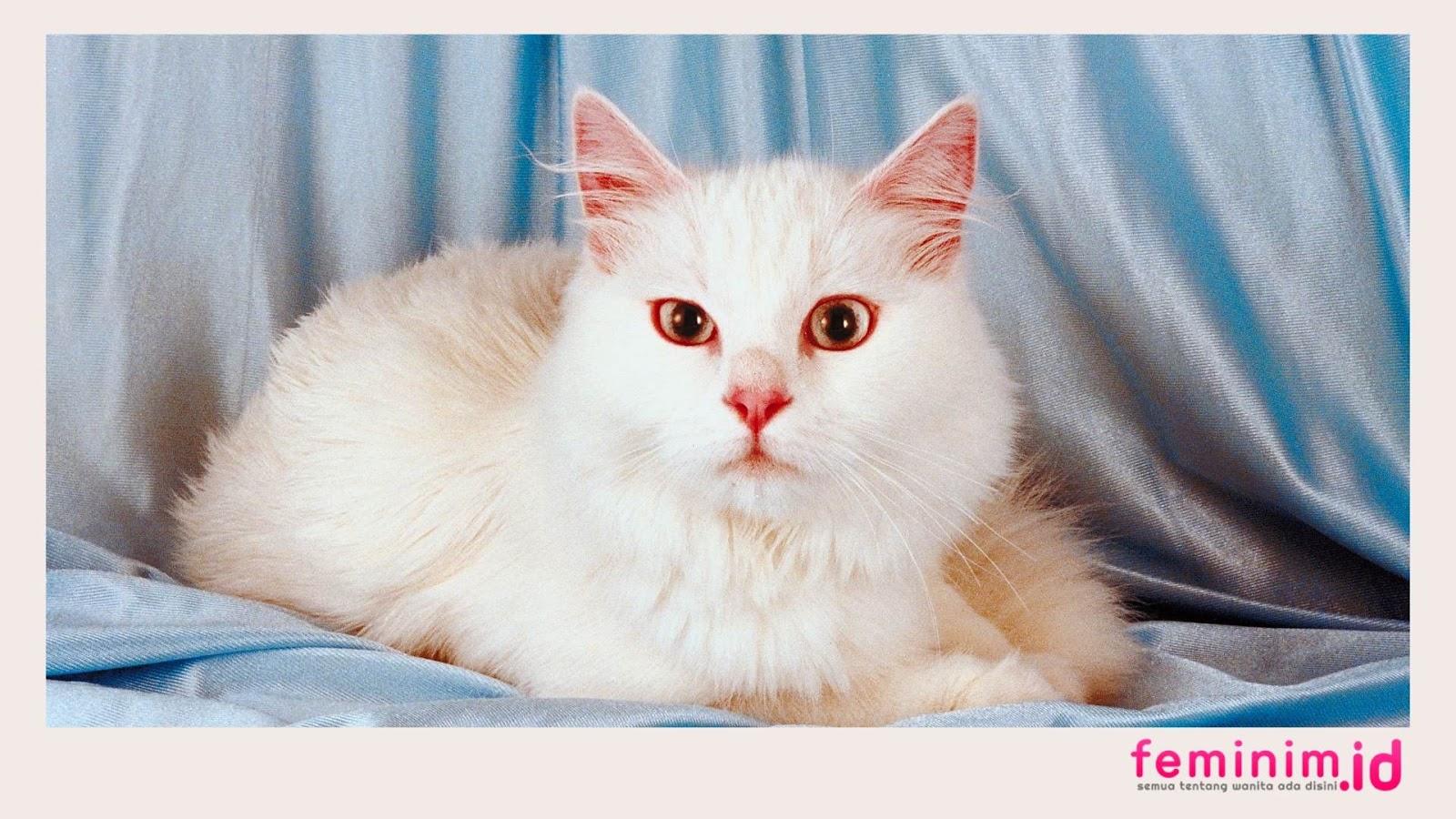 Makanan kucing anggora