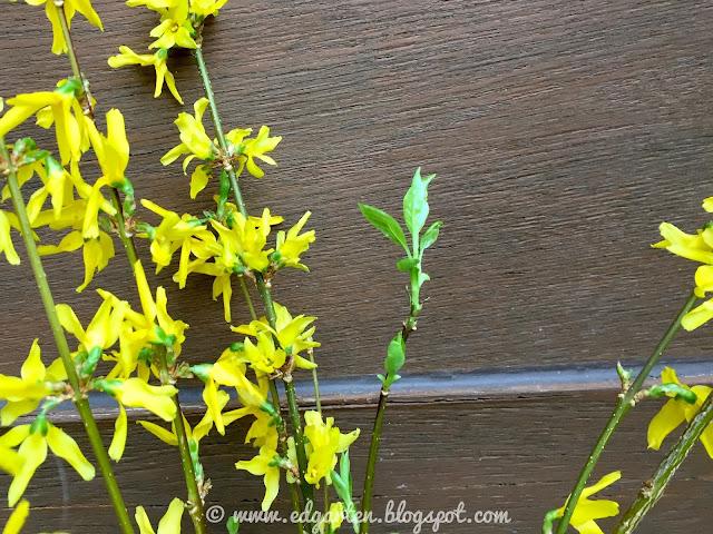 Blüte gelber Forsythie