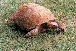 How the tortoise became bald African Folktale