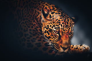 Leopard Attractive Whatsapp DP