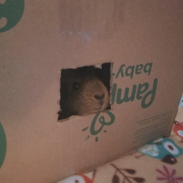 Tara the guinea pig in a cardboard box