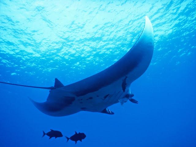 datos curiosos de Riviera Nayarit: Manta Gigante
