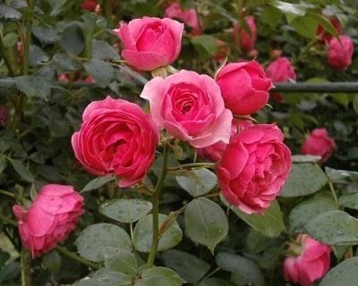 """Mawar taman sangat harum, dengan jumlah kelopak yang banyak, serta bentuk mekar """"cup"""" yang besar."""